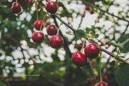inma-ibanez-24380 cherries.jpg