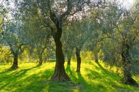 olivetreejpeg